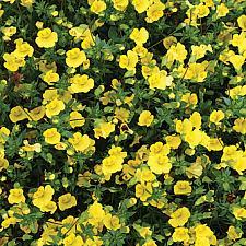 MECARDONIA hybrid 'GoldDust',