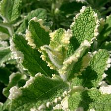 MENTHA suaveolens 'Variegata', Pineapple Mint