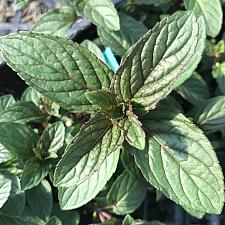 MENTHA x piperita (Peppermint), Peppermint