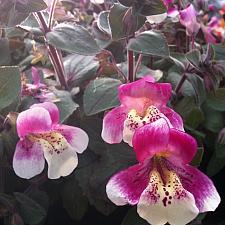 MIMULUS naiandinus, Monkey Flower