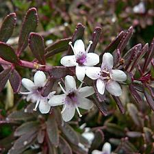 MYOPORUM parvifolium 'Red Leaf Form', Creeping Boobialla