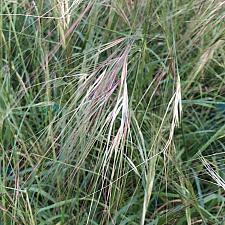 NASSELLA pulchra (syn. STIPA pulchra), Purple Needle Grass