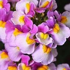 NEMESIA Escential 'Pinkberry', Nemesia Escential Series