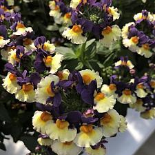 NEMESIA 'Honey Bicolor Orange Flame', Honey Series Nemesia