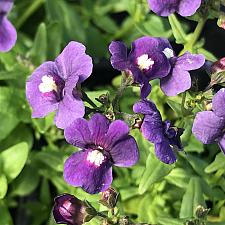 NEMESIA 'Honey Dark Blue', Nemesia