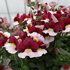 NEMESIA hybrid Penhow 'Cherry Red', Nemesia