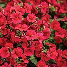 NEMESIA Sunsatia 'Cranberry Red', Sunsatia Nemesia