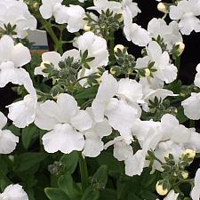 NEMESIA hybrid 'White Lagoon', Nemesia
