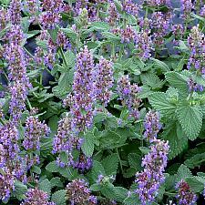 NEPETA hybrid 'Purple Haze', Catmint