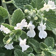 NEPETA racemosa 'Snowflake', Catmint