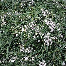 OPHIOPOGON chingii (syn. umbraticola), Chinese Mondo Grass