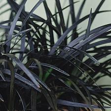 OPHIOPOGON planiscapus 'Nigrescens', Black Mondo Grass, Black Lilyturf