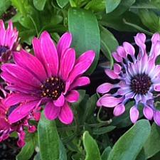 OSTEOSPERMUM ecklonis 'Astra Purple Spoon', Cape Daisy