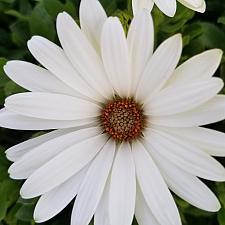 OSTEOSPERMUM Bright Lights 'White', Cape Daisy, African Daisy