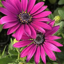 OSTEOSPERMUM ecklonis 'Ostica Purple', Cape Daisy, African Daisy