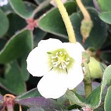 OXALIS oregana 'White', Redwood Sorrel or Oregon Oxalis