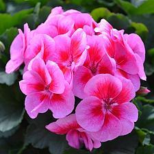 PELARGONIUM interspecific Sarita 'Lilac Splash', Sarita Series, Cross of Ivy and Zonal Geranium