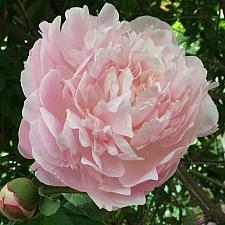 PAEONIA lactiflora 'Myrtle Gentry', Bush Peony (herbaceous)