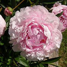 PAEONIA lactiflora 'Sarah Bernhardt', Bush Peony (herbaceous)