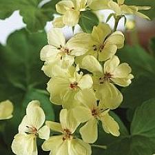 PELARGONIUM x hortorum 'First Yellow Improved', Zonal Geranium