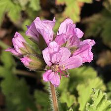 PELARGONIUM 'Attar of Rose', Scented Geranium Rose