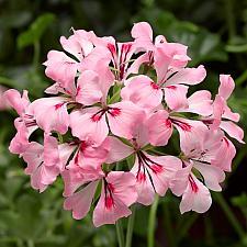 PELARGONIUM peltatum 'Cascade Appleblossom', Ivy Geranium