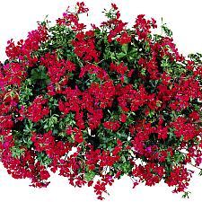 PELARGONIUM peltatum 'Dark Red Blizzard', Ivy Geranium