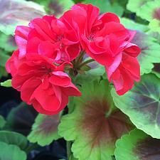 PELARGONIUM x hortorum Brocade 'Fire Night', Type: Fancy Leaf Zonal Geranium