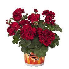 PELARGONIUM peltatum Great Balls of Fire 'Dark Red', Ivy Geranium