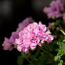 PELARGONIUM peltatum Great Balls of Fire 'Lavender', Ivy Geranium