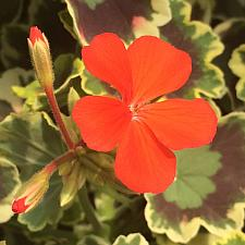 PELARGONIUM x hortorum 'Mrs. Pollock', Type: Fancy Leaf Zonal Geranium