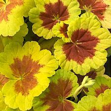 PELARGONIUM x hortorum 'Occold Shield', Type: Fancy Leaf Zonal Geranium