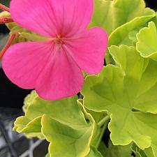 PELARGONIUM x hortorum 'Persian Queen', Type: Fancy Leaf Zonal Geranium