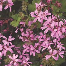 PELARGONIUM 'Pinki Pinks', Geranium