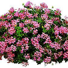 PELARGONIUM peltatum 'Sofie Cascade', Ivy Geranium