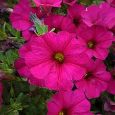 PETCHOA Supercal 'Violet', Supercal Series Petchoa