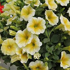 PETUNIA Supertunia 'Limoncello', Supertunia Petunia