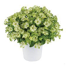 PETUNIA x hybrida Ray 'Pistachio Cream', Ray Series Petunia