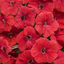PETUNIA Supertunia 'Really Red', Supertunia Petunia