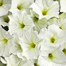 PETUNIA Supertunia 'White', Supertunia Petunia