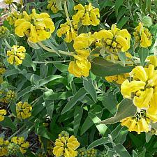PHLOMIS fruticosa, Jerusalem Sage