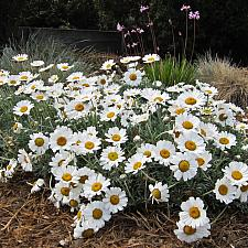 RHODANTHEMUM species, Moroccan Daisy
