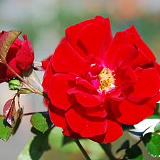 ROSA Red Ribbons (=KORtemma) (own root), Shrub