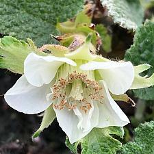 RUBUS pentalobus (syn. R. calycinoides, R. fockeanus), Bramble, Creeping Raspberry