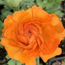 RANUNCULUS Mache 'Orange', Persian Buttercup