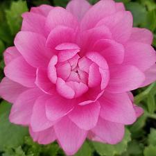 RANUNCULUS Mache 'Pink', Persian Buttercup