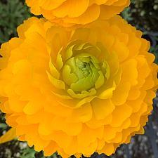 RANUNCULUS Mache 'Yellow', Persian Buttercup