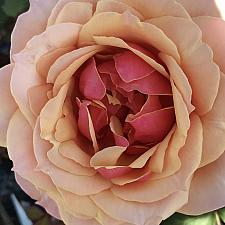 ROSA 'About Face (=WEKosupalz), Grandiflora (Hybrid Tea x Floribunda)