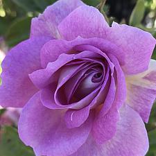 ROSA 'Arctic Blue', Floribunda