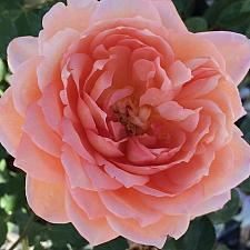 ROSA 'Carding Mill' (=Auswest), David Austin English Rose